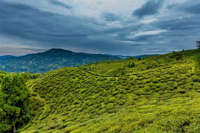 Bagdogra-to-Darjeeling-through-Rohini-Tea-Estate