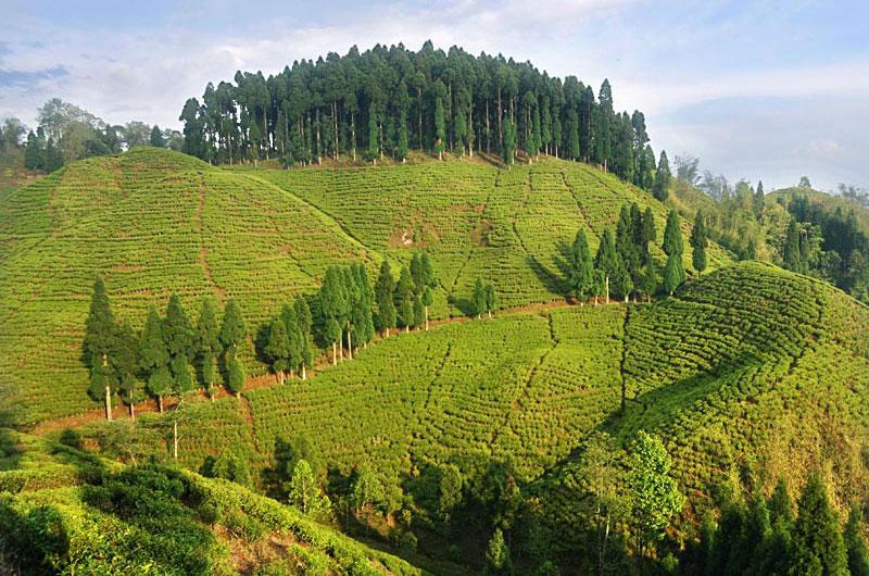 mirik-tea-garden